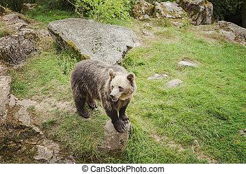 Brown bear in park