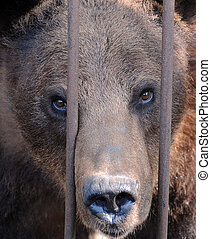 Brown Bear in the Cage
