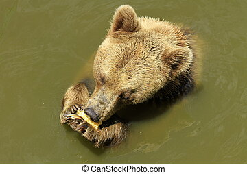Brown bear in the water.