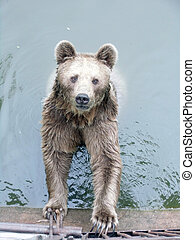 Brown Bear in the Water