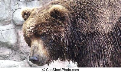 Kamchatka brown bear. - Brown bear in water. Portrait of...