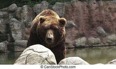 Brown bear in water. Portrait of brown bear (Ursus arctos...