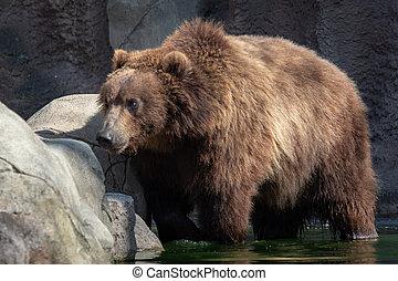 Brown bear in water. Portrait of brown bear (Ursus arctos beringianus). Kamchatka brown bear.