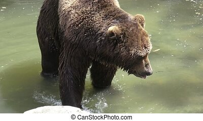 Brown bear in water. Portrait of brown bear (Ursus arctos...