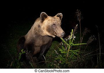Brown bear is watching prey at night.