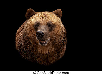 Brown bear isolated on black background - Brown bear...