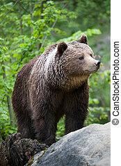 brown bear (lat. ursus arctos)