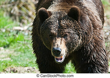 brown bear (lat. ursus arctos) walking towards the camera