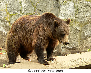 Brown bear looking for the food in the zoo (it was feeding...