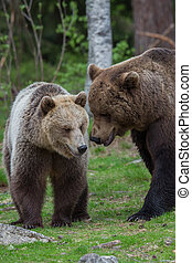 Brown bear love in Tiaga forest - A high resolution image of...