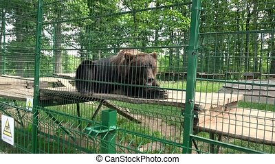 Brown bear lying in zoo and mother with child looking at it.
