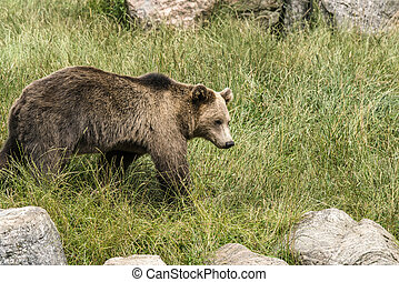 Brown bear on a green meadow in the spring
