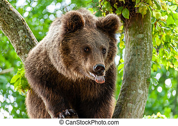 Brown bear on a tree in the forest