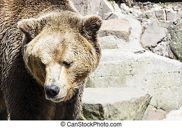Brown bear on the background of gray rocks.