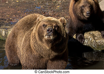 Brown Bear on the river - Brown Bear on the Florest smelling...
