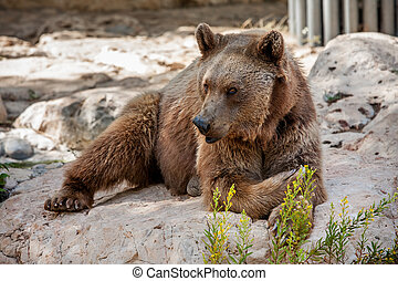 Brown bear on the rocks.
