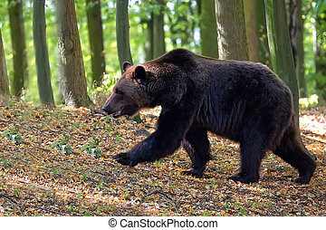 Brown bear on the run