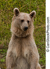 Brown Bear portrait in nature