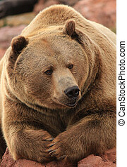 Brown Bear Relaxing - Brown Bear resting on rocks