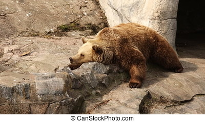 Brown bear resting on a stone