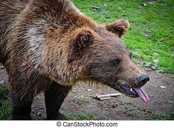 Brown bear shows the tongue