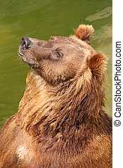 Brown bear sitting in the water