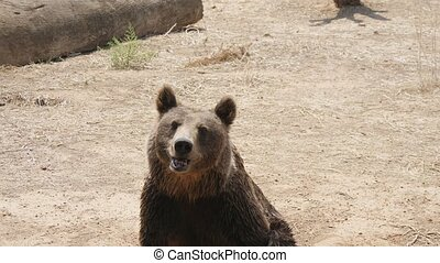 Brown bear sitting on its ass, smelling and waiting for food in a zoo in summer