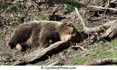 Brown bear sleeping. Bear sleeping on top of a hill in the...