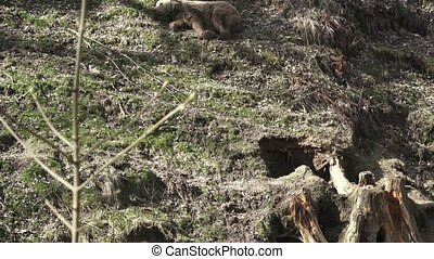 Brown bear sleeping. Bear sleeping on top of a hill in the woods. (ursus arctos)