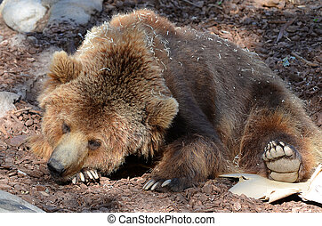 Brown bear sleeping on the ground.