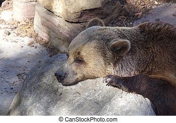 Brown bear sleeping on the rock