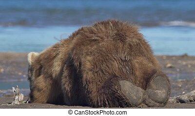 Brown bear sleeping.