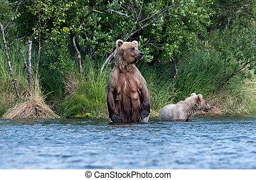 Brown bear sow and cub in Brooks River - Alaskan brown bear...