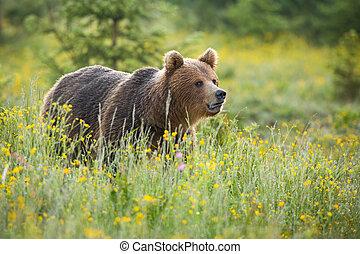 Brown bear standing on blooming meadow in summer nature