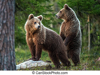 Brown bear  stands on its hind legs.  Scientific name: Ursus arctos. In the summer forest.