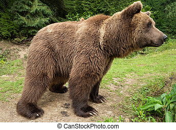 Brown bear stands on the background of the forest.