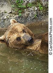Brown bear taking a bath in the lake.