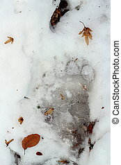 brown bear trace in ice