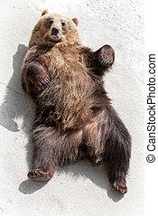 Brown bear (Ursus arctos arctos) lying on the ground