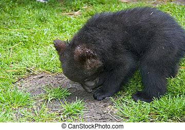 Brown bear (Ursus arctos) baby