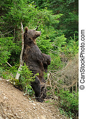 Brown bear (Ursus arctos) in forest
