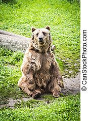 Brown bear Ursus arctos