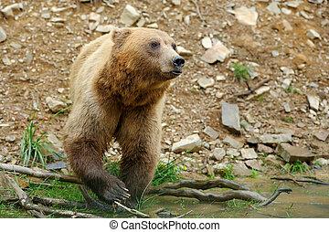 Brown bear (Ursus arctos) in nature