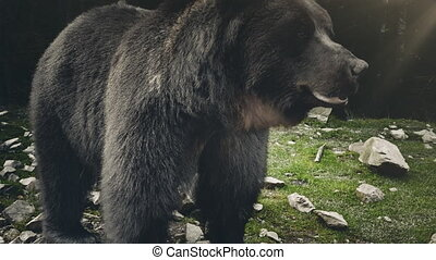 Brown bear (Ursus arctos) in wild nature - Brown bear (Ursus...