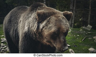 Brown bear (Ursus arctos) in wild nature - Brown bear (Ursus...