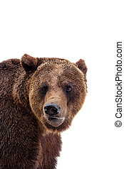 Brown bear, Ursus arctos, isolated on white background