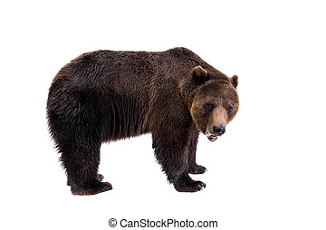 Brown bear, Ursus arctos