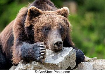 Brown bear (Ursus arctos) portrait in forest