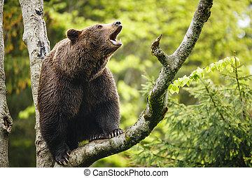Brown bear (Ursus arctos), sitting on a tree, screaming loudly
