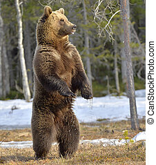 Brown bear (Ursus arctos) standing on his hind legs in spring forest.